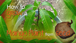 How to grow a mango plant from seed