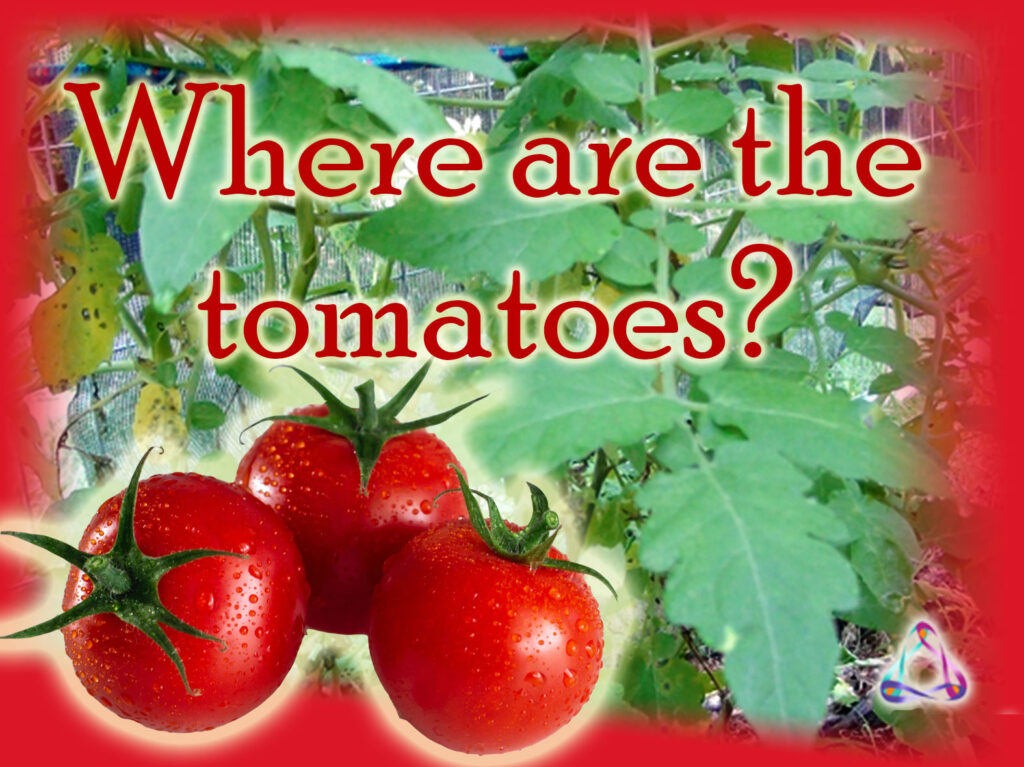 My are my tomato plants not growing tomatoes