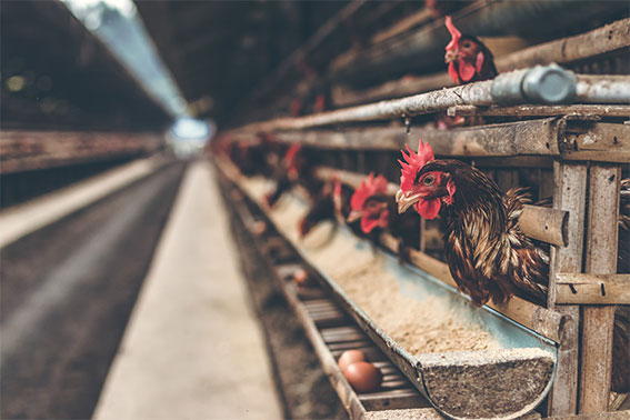 Why-you-should-not-eat-animal-products-chickens