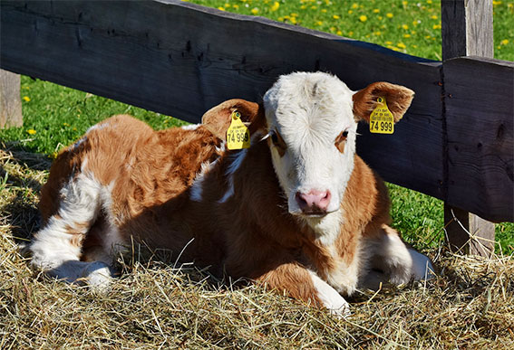 Why-you-should-not-eat-animal-products-cow-dairy-calf